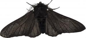 black moth layer